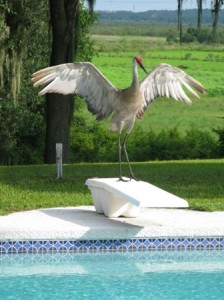 A sandhill crane captured in a photo by Dr. Tom Wronski, taken at his home near Paynes Prairie.