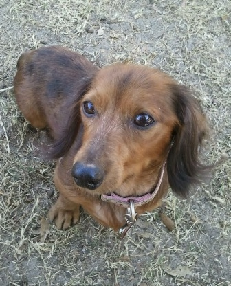 Sunshine, the rescued Dachshund.