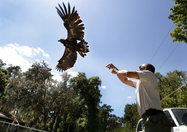 This American bald eagle was successfully released back into the wild April 10. The eagle was treated by UF's zoological medicine service and subsequently received rehabilitation through the Audubon Center for Birds of Prey.
