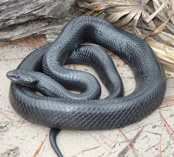 An Eastern indigo snake. (Photo courtesy of Wikipedia)