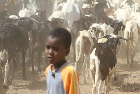 Child in field with cows in Senegal