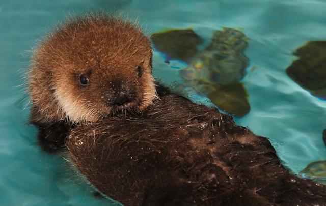 A Southern sea otter pup.