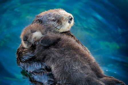 Southern sea otter pup and mother