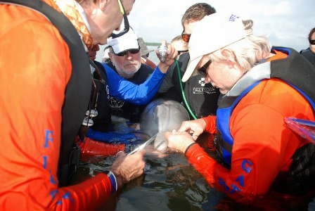 Marine mammal rescuers with dolphin calf