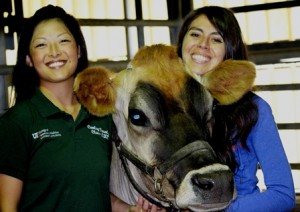 Penny the cow with Dr. Jimenez and Carley Trcalek
