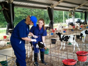 Veterinary student on FARMS rotation gives cow vaccinations.