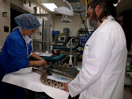 Veterinary technician Hollie Chiles and Dr. Jim Wellehan of the zoological medicine service anesthetize a 20-year-old Eastern diamondback rattlesnake on Dec. 14 in preparation for surgery to remove a large tumor from its midsection. The snake was captive-bred and is owned by the Santa Fe Teaching Zoo, for which UF serves as veterinarian. (Photo by Sarah Carey)