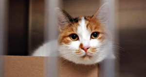 The Million Cat Challenge aims to prevent euthanasia of 1 million shelter cats. (Debbie Aldridge/UC Davis)