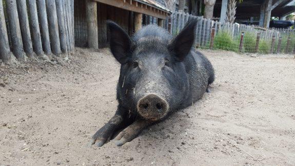 Donald, Bass Pro pig