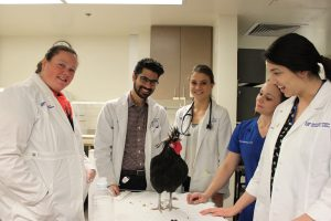 Larry, a rooster who was seen at the UF Small Animal Hospital.